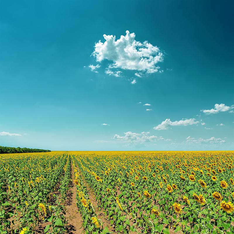 云,向日葵,在下面,天空,无人,夏天,户外,农作物,田地,消失点