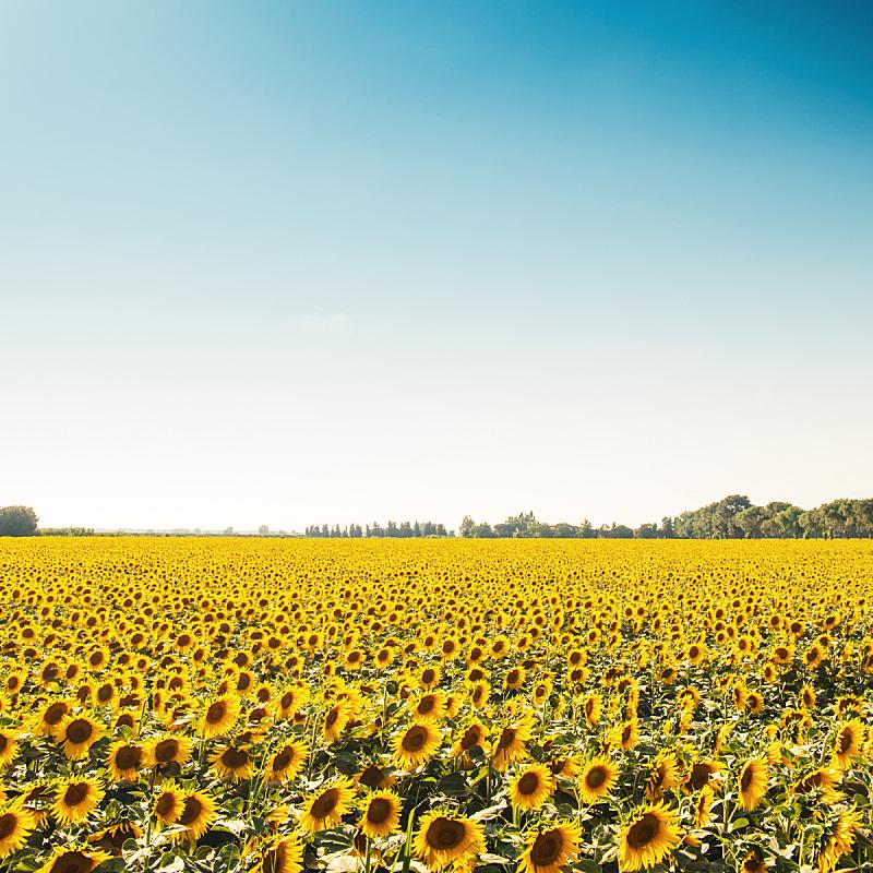 卢卡,田地,意大利,向日葵,天空,美,留白,无人,夏天,户外