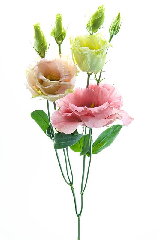 仅一朵花,彩色图片,小的,洋桔梗,三个物体,垂直画幅,艺术,无人