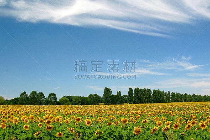 田地,向日葵,青年人,天空,水平画幅,无人,夏天,户外,植物,瘦身