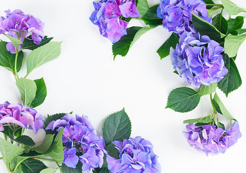 蓝色,紫色,八仙花属,美,水平画幅,枝繁叶茂,无人,夏天,花束,白色