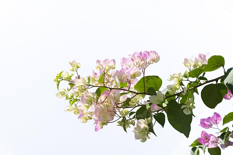 白色背景,三角梅,分离着色,气候,空的,背景分离,浪漫,泰国,春天,园林