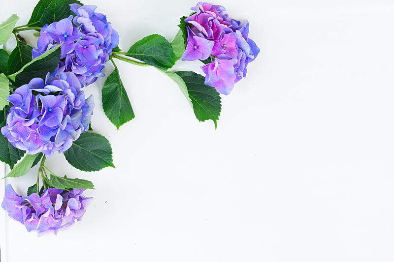 蓝色,紫色,美,水平画幅,枝繁叶茂,无人,夏天,工作室,花束,白色