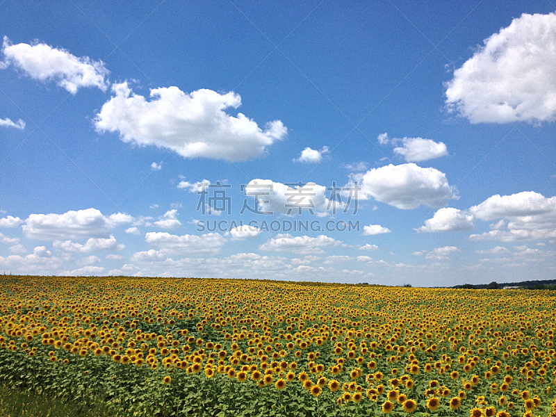 向日葵,自然,水平画幅,无人,蓝色,黄色,有机食品,植物学,夏天,摄影