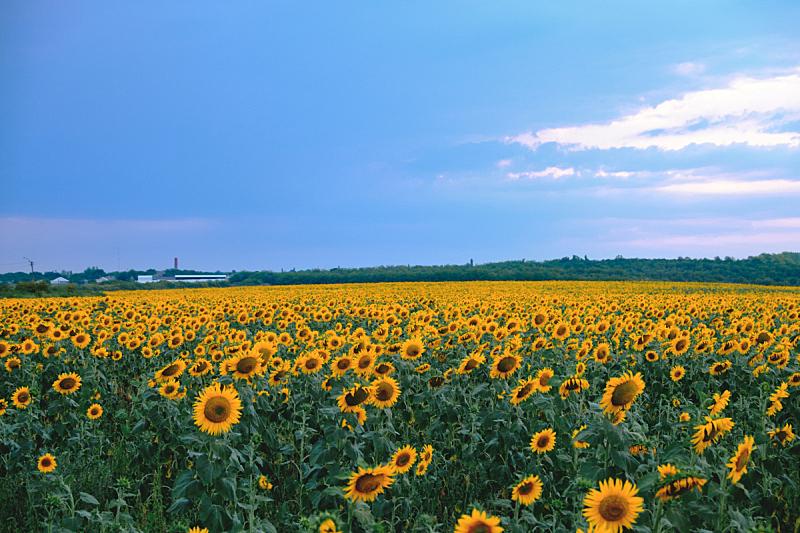天空,田地,向日葵,蓝色,云,美,水平画幅,无人,夏天,户外