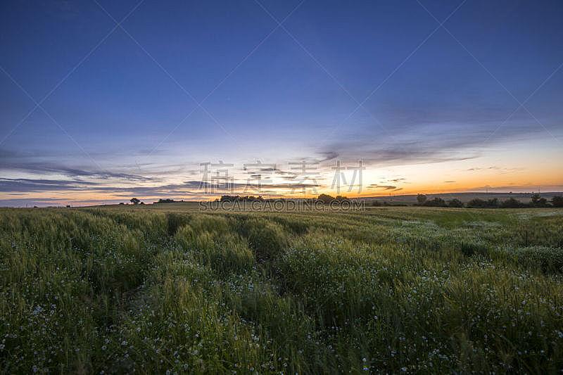 天空,田地,雏菊,小麦,非凡的,在上面,可爱的,美,水平画幅,云
