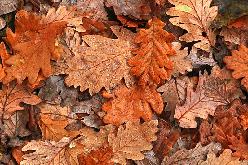 秋天,叶子,倾盆大雨,自然,水,褐色,水平画幅,无人,英格兰橡树,正上方视角