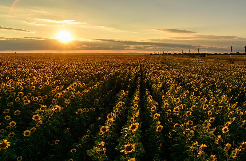 散焦,黄色,向日葵,宽的,地形,风景,在上面,自然美,田地,日落
