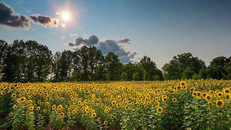 田地,向日葵,农场,旭日形蝴蝶鱼,自然,天空,美国,成一排,水平画幅,地形