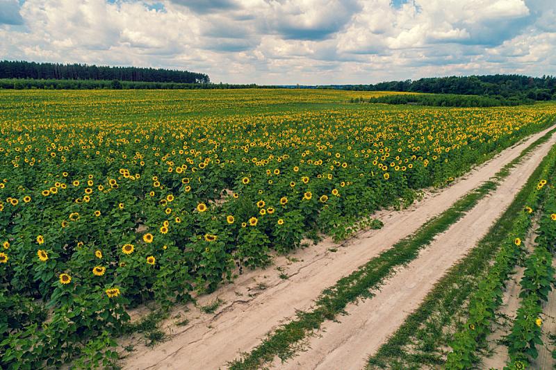 田地,航拍视角,向日葵,自然美,土路,天空,美,水平画幅,云,无人