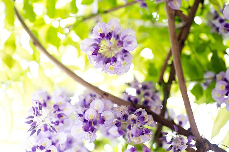 日本紫藤,自然,有蔓植物,水平画幅,攀缘植物,无人,格子棚,蓝色,日本,紫色
