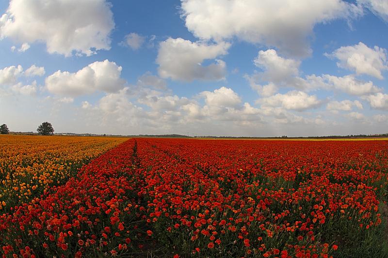 毛莨科,花朵,田地,水平画幅,无人,五月,夏天,户外,草,特写