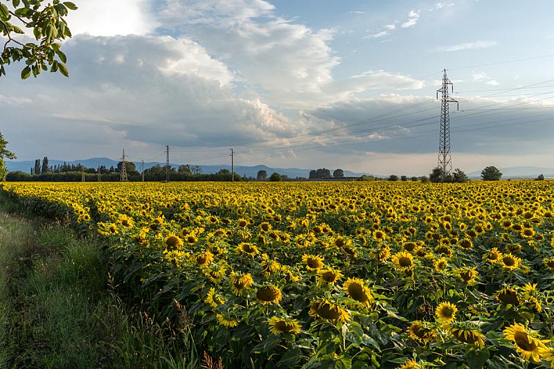 风景,保加利亚,向日葵,山谷,田地,扎戈拉,非都市风光,田园风光,户外,夏天