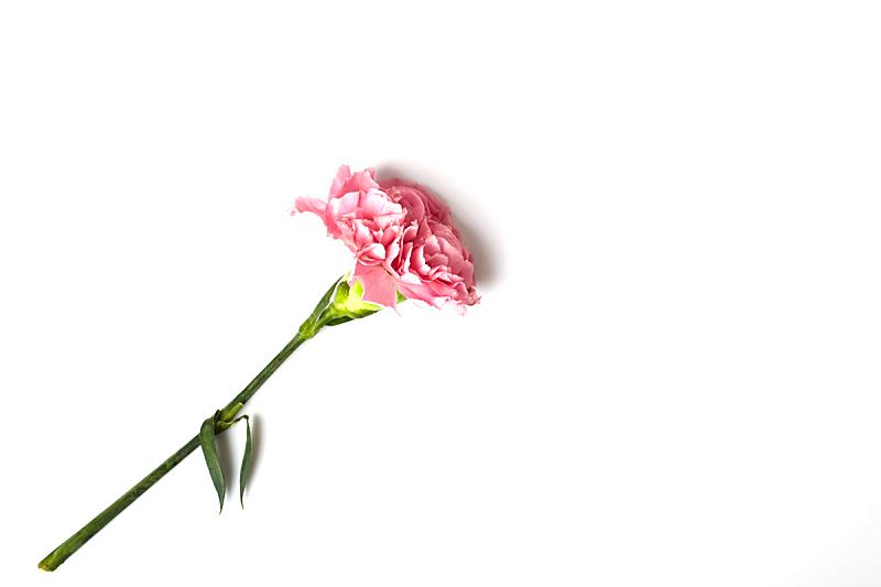 康乃馨,白色背景,粉色,美,贺卡,留白,水平画幅,情人节,夏天,特写