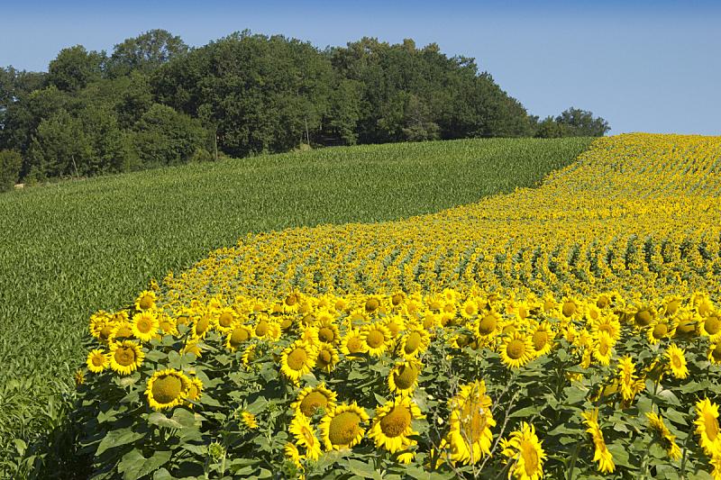 田地,向日葵,边框,草地,水平画幅,绿色,无人,户外,农作物,植物茎