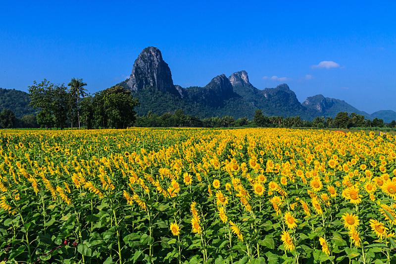 向日葵,天空,罗布里省,仅一朵花,明亮,高处,彩色图片,清新,花头,草地
