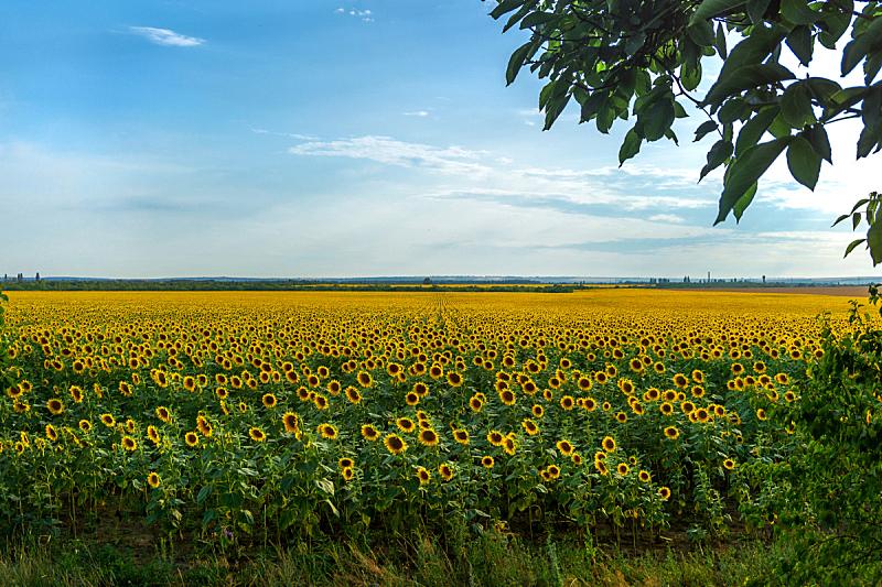 乌克兰,向日葵,田地,全景,非都市风光,田园风光,地形,户外,季节,夏天