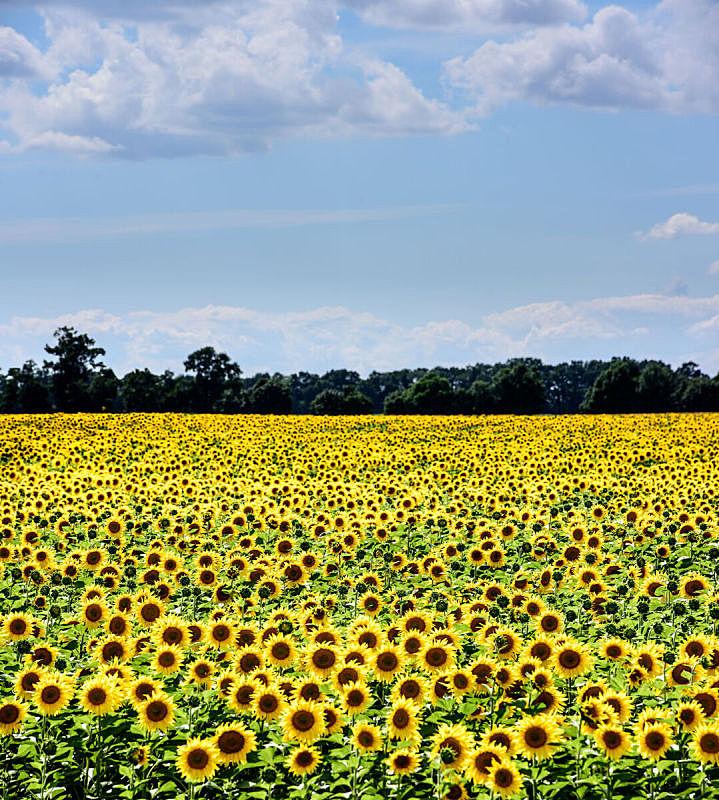 向日葵,田地,葵花油,垂直画幅,美,无人,夏天,户外,明亮,全球通讯