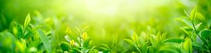 茶树,叶子,清新,花蕾,种植园,农场,田地,全景,草本,绿色