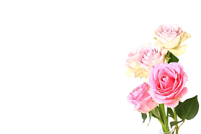 粉色,分离着色,柔焦,白色背景,玫瑰,自然,美,式样,人的头部,水平画幅
