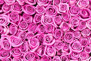 玫瑰,自然美,粉色,情人节,华丽的,纹理效果,前面,清新,壁纸,色彩鲜艳