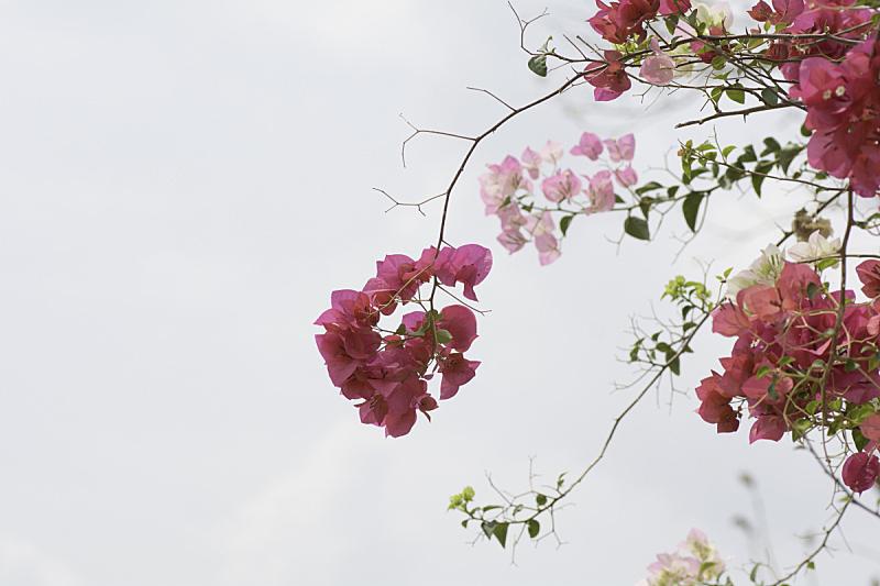 天空,枝,小的,背景,粉色,三角梅,美,褐色,新的,水平画幅