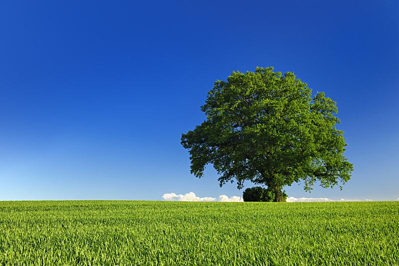 橡树,天空,地形,远古的,蓝色,春天,在下面,一棵树,巨大的,环境保护
