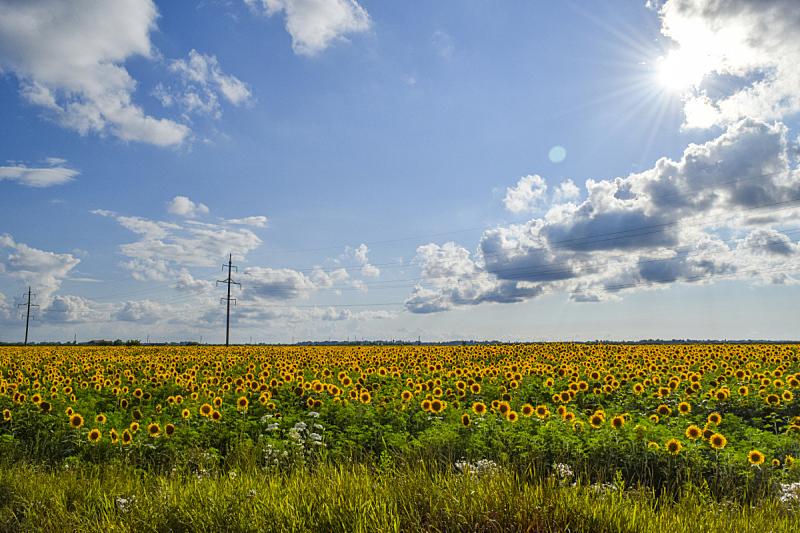 向日葵,田地,农业,野生动物,橙色,环境保护,稻田,夏天,户外,天空