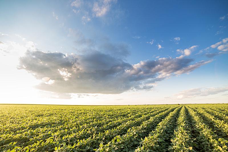 大豆,田地,农业,绿色,地形,熟的,天空,水平画幅,夏天,户外