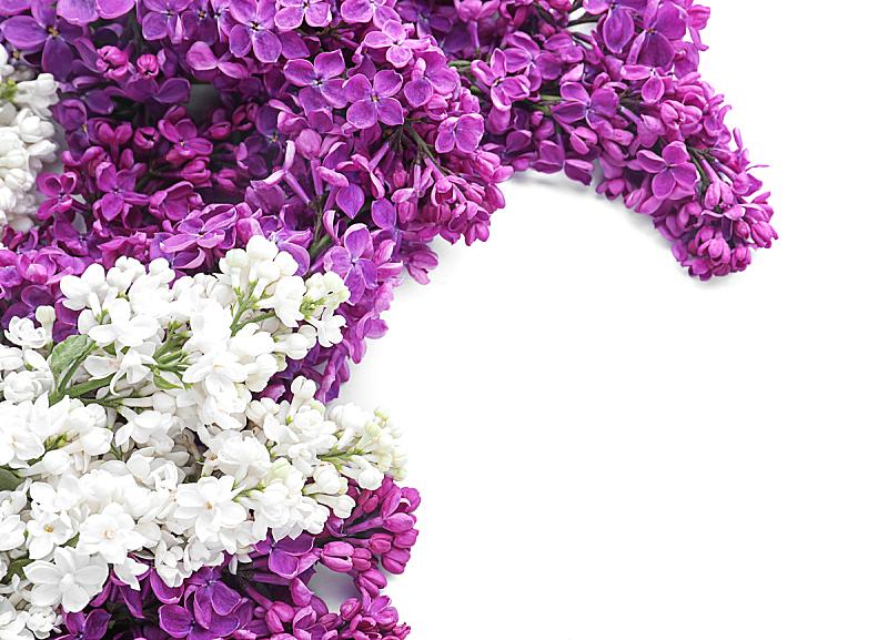 白色背景,花朵,丁香花,自然美,自然,季节,紫色,乌克兰,图像,美