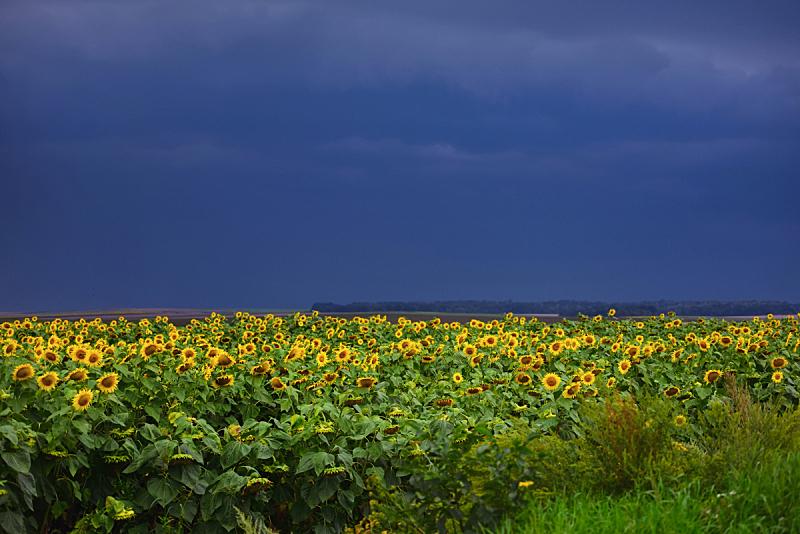 农业,向日葵,背景,乌云,地形,深蓝,田地,暗色,环境,天气