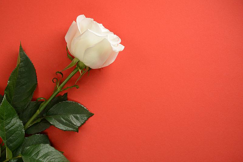 玫瑰,白色,红色背景,自然,美,水平画幅,无人,情人节,摩尔多瓦共和国,脆弱