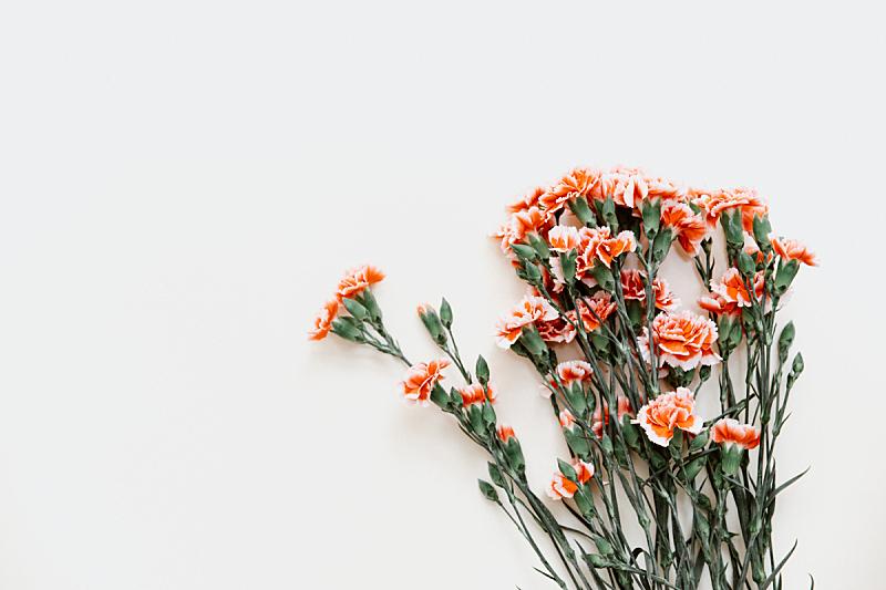康乃馨,深情的,粉色,淡雅,背景,分离着色,美,贺卡,水平画幅,生日
