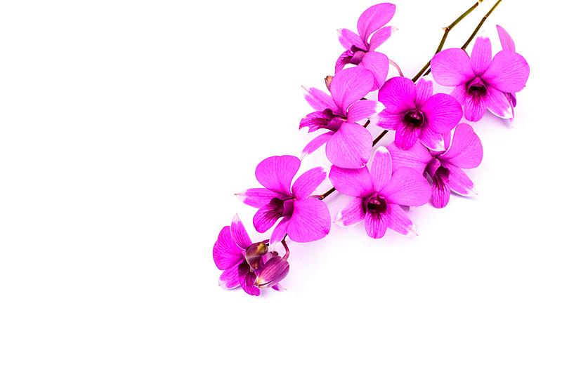 兰花,枝,分离着色,白色,水平画幅,无人,蝴蝶兰,夏天,背景分离,特写