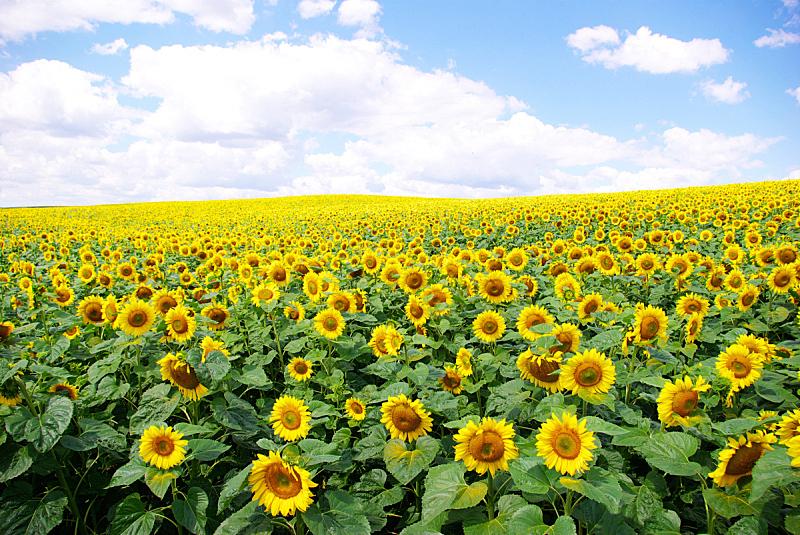 田地,向日葵,农业,自然,黄色,图像,无人,植物,户外,花