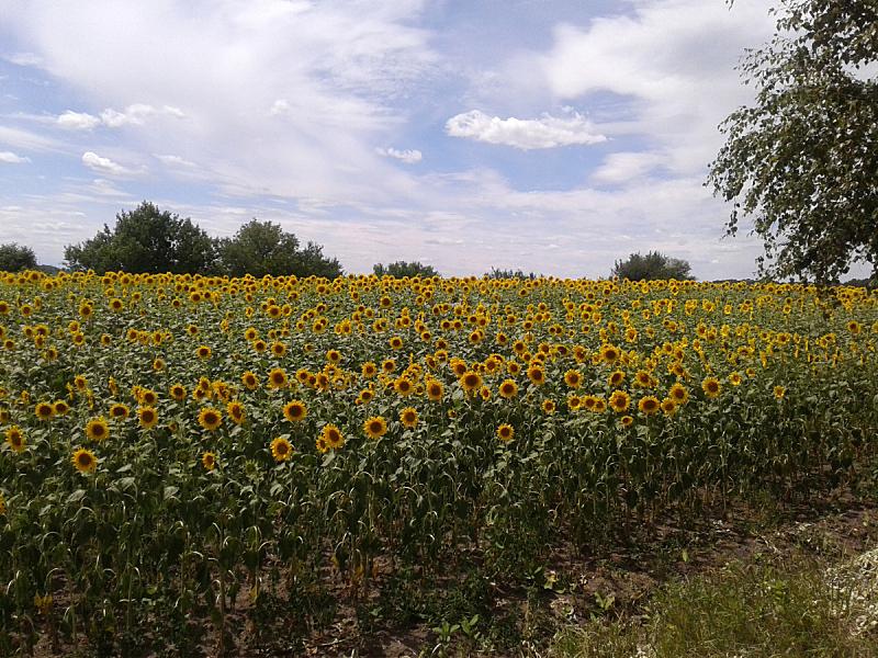 向日葵,田地,植物,水平画幅,地形,无人,乌克兰,户外,草,摄影
