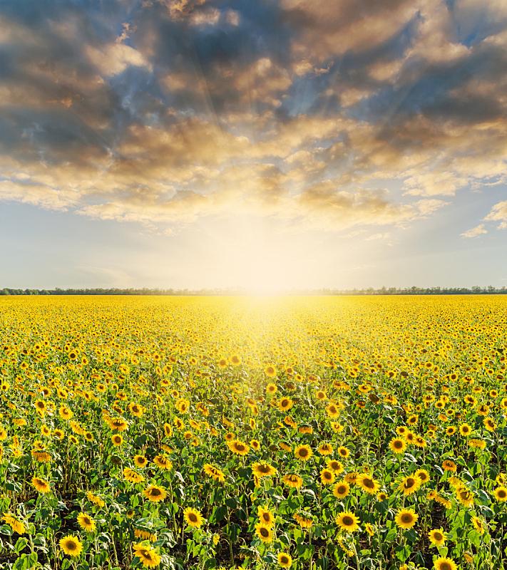 田地,黑云压城,向日葵,垂直画幅,天空,无人,夏天,户外,农作物,植物