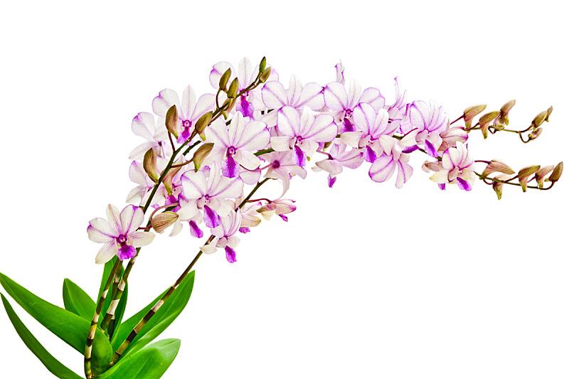 石斛,兰花,水平画幅,无人,叶子,花头,摄影,生长