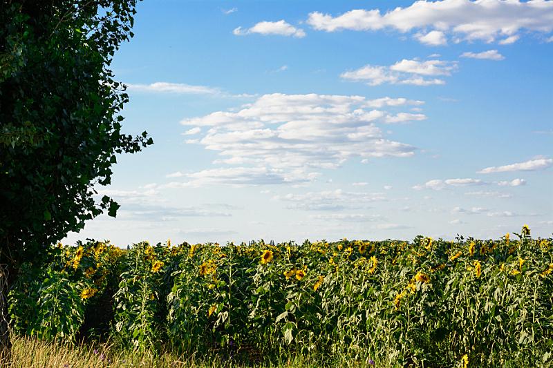 田地,向日葵,腭,天空,美,风,水平画幅,枝繁叶茂,夏天,户外