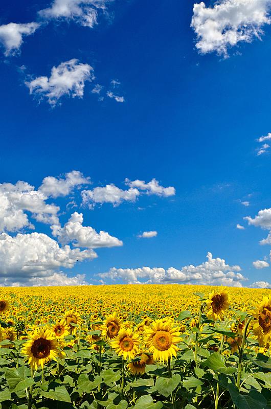 天空,向日葵,田地,黄色,海洋,垂直画幅,云,无人,夏天,户外