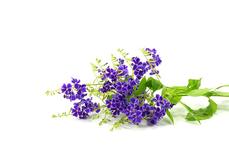 马鞭草科,里拉符号,彩色图片,紫罗兰,水平画幅,小的,无人,夏天,提示,生长