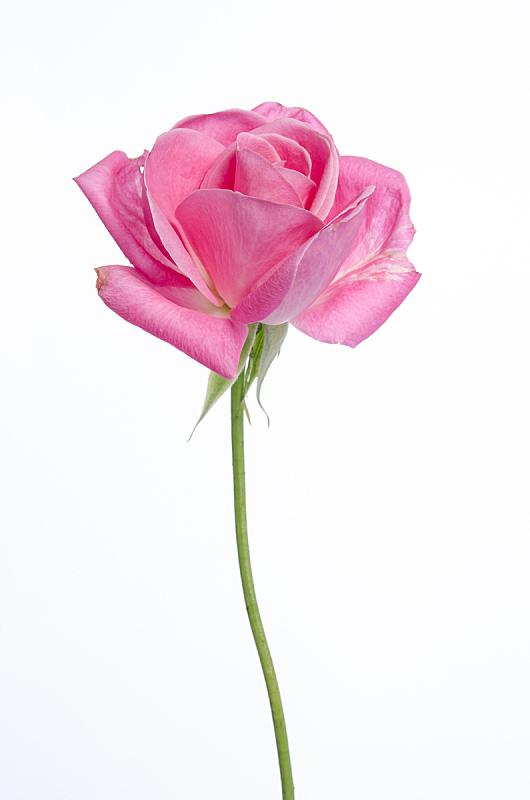 玫瑰,自然美,粉色,一个物体,白色背景,自然,垂直画幅,美,绿色,花