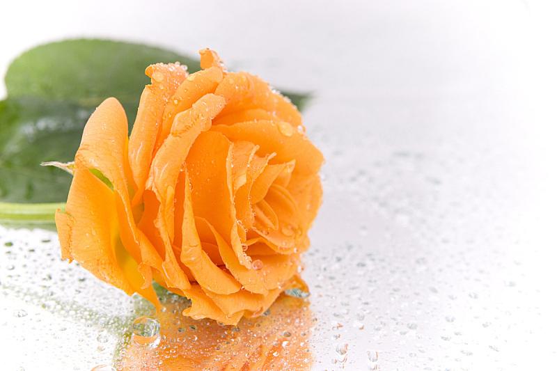玫瑰,露水,芳香的,水平画幅,历日,符号,仅一朵花,花束,花蕾,清新