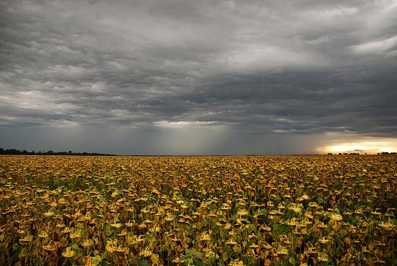 田地,雷雨,向日葵,在上面,天空,重的,水平画幅,纹理效果,无人,夏天