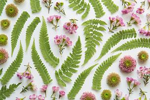 蕨类,菊花,花头,嫩枝,春天,花纹,花瓣,白色背景,自然美,大特写