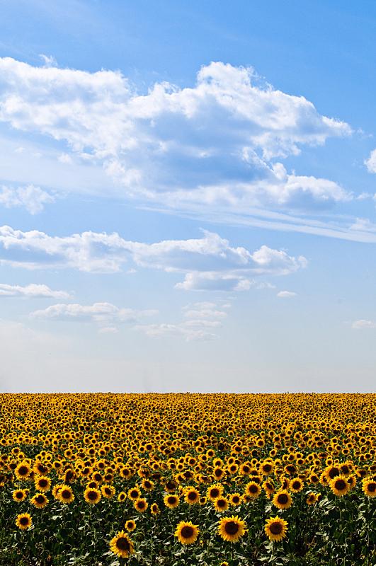 向日葵,垂直画幅,天空,无人,夏天,户外,云景,田地,植物,彩色图片