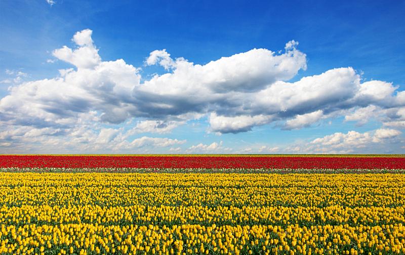 郁金香,田地,荷兰,自然美,自然,天空,水平画幅,无人,蓝色,浪漫