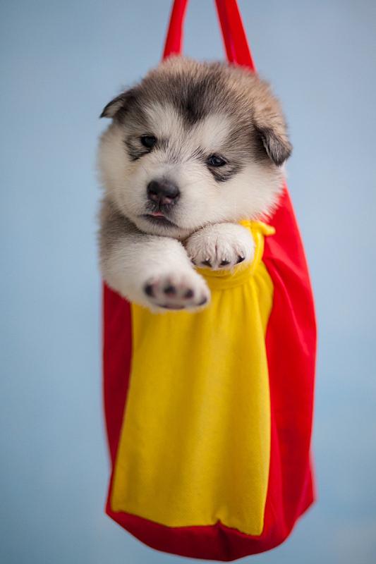 雪橇犬,阿拉斯加,垂直画幅,阿拉斯加雪橇犬,哺乳纲,友谊,月,人的脸部,北,狗