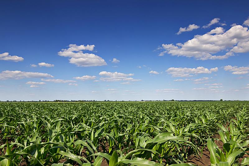 天空,夏天,田地,绿色,蓝色,玉米,日光,白昼,水平画幅,无人