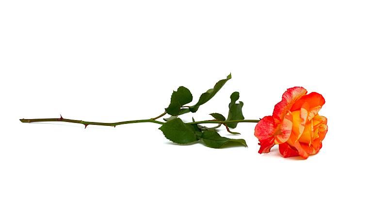 玫瑰,条纹,分离着色,白色,自然,垂直画幅,水平画幅,绿色,橙色,无人